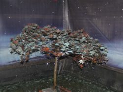 COPPER ACER TREE